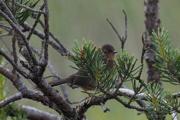 Dartford warbler c Sue Healey rspb gravesend