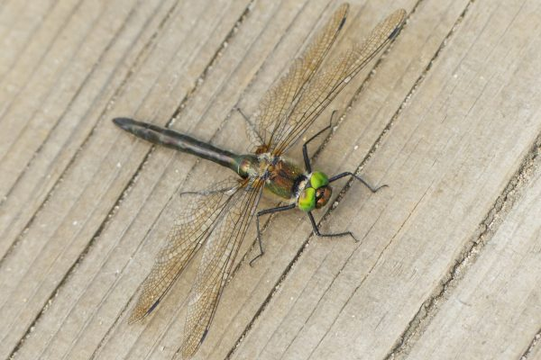 Downy Emerald dragonfly c Lucy Browne