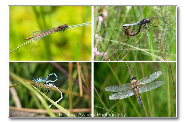 Dragonflies Cp Richard Awbery 1