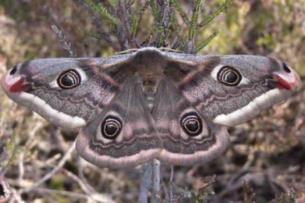 Emperor Moth c Damian Keith
