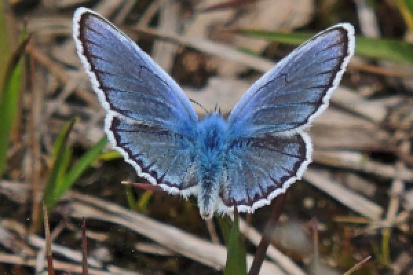Silver Studded Blue c Pete
