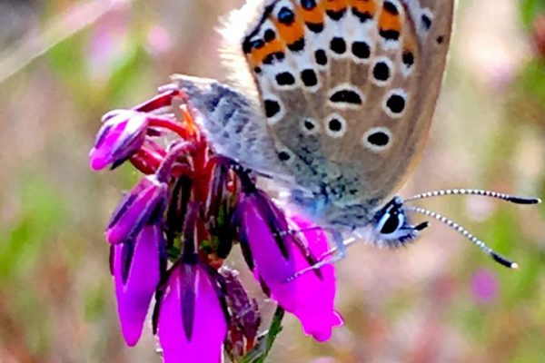 Silver studded butterfly c James Giles
