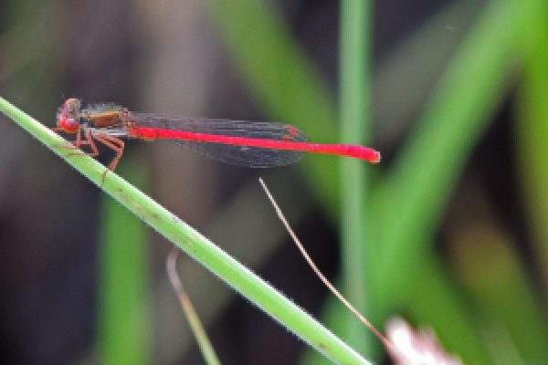 Small Red damselfly c Pete
